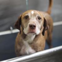 Adopt A Pet :: Tess - Covington, LA