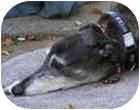 Greyhound/Greyhound Mix Dog for adoption in Santa Rosa, California - Rebel Cause