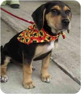 Shepherd (Unknown Type)/Hound (Unknown Type) Mix Puppy for adoption in New Kent, Virginia - Sunshine