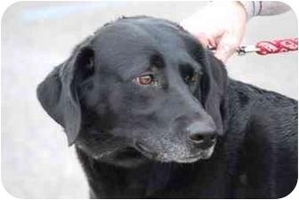 Labrador Retriever Mix Dog for adoption in Athens, Ohio - Betty