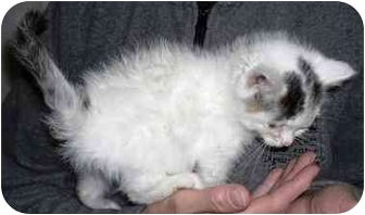 Domestic Mediumhair Kitten for adoption in Alden, Iowa - Stitch