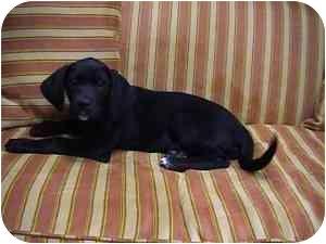 Labrador Retriever Mix Puppy for adoption in Spring Valley, New York - Kissy