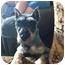 Photo 1 - Schnauzer (Miniature) Dog for adoption in Springfield, Missouri - Doolittle