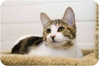 Domestic Shorthair Kitten for adoption in New Port Richey, Florida - Lily