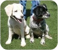 Cocker Spaniel/Labrador Retriever Mix Dog for adoption in Santa Barbara, California - Logan & Daniel