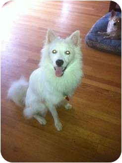 American Eskimo Dog Mix Puppy for adoption in New Jersey, New Jersey - NJ - Sam