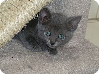 Russian Blue Kitten for adoption in Naperville, Illinois - Stormy