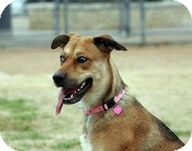 Shepherd (Unknown Type) Mix Dog for adoption in Justin, Texas - Harlee