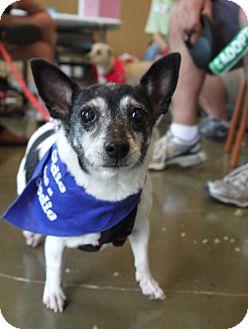 Rat Terrier Mix Dog for adoption in Baton Rouge, Louisiana - Opal