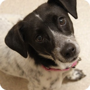 Terrier (Unknown Type, Small) Mix Dog for adoption in Naperville, Illinois - Freckles