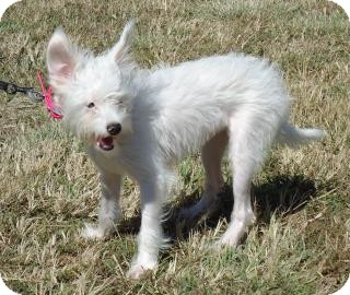 Jack Russell Terrier/Chihuahua Mix Dog for adoption in Larned, Kansas - Casey