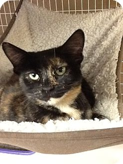 Domestic Shorthair Cat for adoption in Douglas, Wyoming - Elfie
