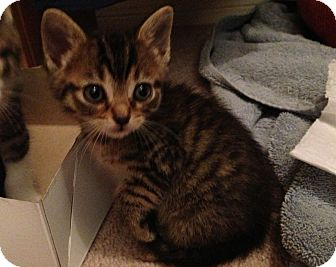 Domestic Shorthair Kitten for adoption in Killeen, Texas - lily