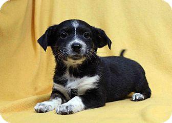 Blue Heeler/Basenji Mix Puppy for adoption in Westminster, Colorado - Clarinet