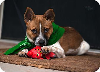 Cattle Dog Mix Puppy for adoption in Baton Rouge, Louisiana - Bernie