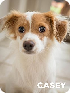 Papillon Mix Dog for adoption in DFW, Texas - Casey