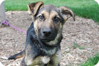 German Shepherd Dog Mix Puppy for adoption in Twin Falls, Idaho - Franklin