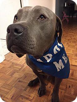 Neapolitan Mastiff/American Staffordshire Terrier Mix Dog for adoption in Phoenix, Arizona - Bodie