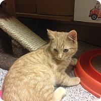 Adopt A Pet :: Tang - Portland, ME