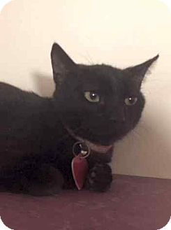 Domestic Shorthair Kitten for adoption in Los Angeles, California - RUDY