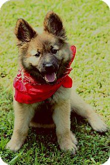 Shepherd (Unknown Type)/Husky Mix Puppy for adoption in Harrisburg, Pennsylvania - Beauty