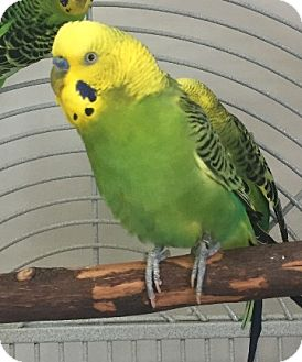 Budgie for adoption in Fairfax, Virginia - Sage