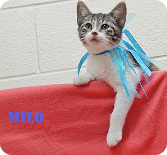 Domestic Shorthair Kitten for adoption in Bucyrus, Ohio - Milo Mindbender