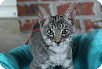 Domestic Shorthair Kitten for adoption in Ocean Springs, Mississippi - Blue