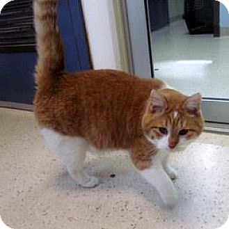 Domestic Shorthair Cat for adoption in Janesville, Wisconsin - Tucker