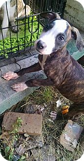 American Pit Bull Terrier/American Staffordshire Terrier Mix Puppy for adoption in Covington, Tennessee - Twinkles
