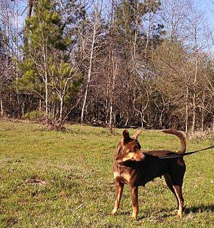 German Pinscher/Terrier (Unknown Type, Medium) Mix Dog for adoption in Jefferson, Texas - Sassy