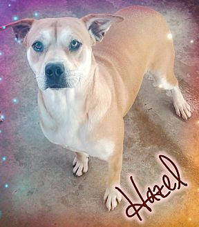 American Bulldog Mix Dog for adoption in Odessa, Texas - Hazel