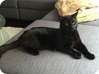 Domestic Mediumhair Cat for adoption in Arlington, Virginia - Zeus- Doglike, Large/Gentle!