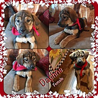 Adopt A Pet :: Daphne-in Ct - Manchester, CT