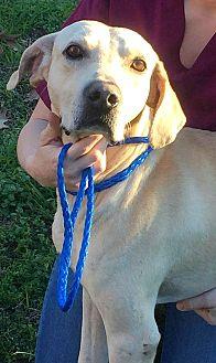 Labrador Retriever/Pointer Mix Dog for adoption in Demopolis, Alabama - Union