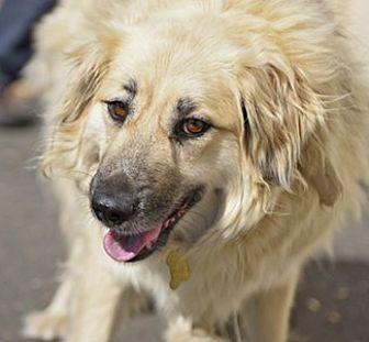 Australian Shepherd Mix Dog for adoption in Pt. Richmond, California - SUGAR
