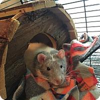 Adopt A Pet :: Houdini & Turtle - Grand Rapids, MI