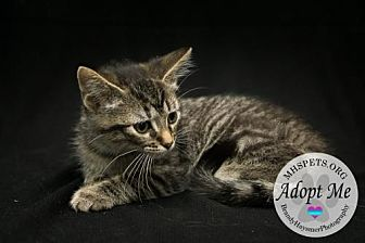 American Shorthair Cat for adoption in Lake City, Michigan - Kitty 14