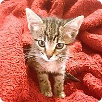 Adopt A Pet :: Harper - Casa Grande, AZ