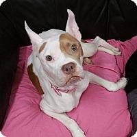 American Bulldog/Boxer Mix Dog for adoption in Pensacola, Florida - Nova