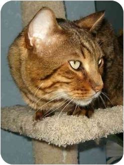 Bengal Cat for adoption in Keizer, Oregon - Benny spnosor me!