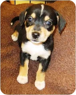 Dachshund/Terrier (Unknown Type, Small) Mix Puppy for adoption in Sugar Land, Texas - Darla
