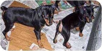 Miniature Pinscher Puppy for adoption in Florissant, Missouri - Harley