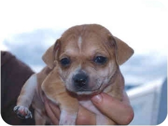 Chihuahua Mix Puppy for adoption in Reno, Nevada - West