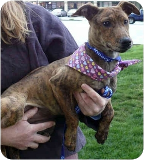 Whippet/Terrier (Unknown Type, Small) Mix Puppy for adoption in Sacramento, California - Lola sweety