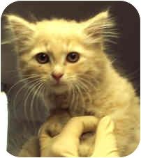 Domestic Mediumhair Kitten for adoption in Milton, Massachusetts - Goliath