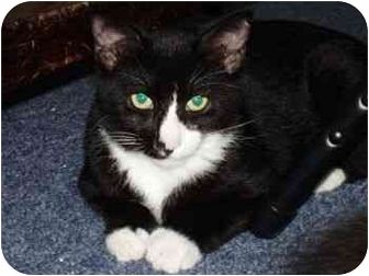 Domestic Shorthair Cat for adoption in Clinton, Connecticut - Birdie