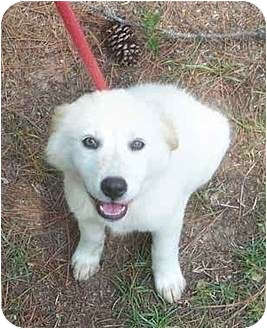 Golden Retriever Mix Puppy for adoption in Columbia, South Carolina - Fluffy