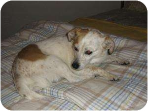 Jack Russell Terrier/Dachshund Mix Dog for adoption in Scottsdale, Arizona - Chloe
