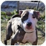 Photo 2 - American Pit Bull Terrier Mix Dog for adoption in Hillsborough, New Jersey - Emma